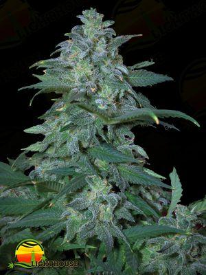 Magic Bud (Paradise Seeds)