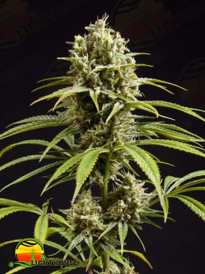 Fruity Jack (Philosopher Seeds)
