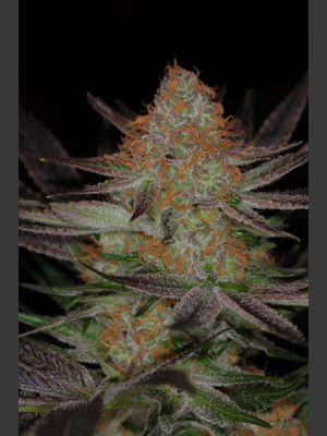 Qrazy Train Regular Seeds