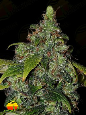 African Buzz Regular (Seedsman)