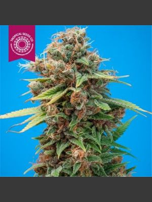 Smooth Smoke Regular Seeds