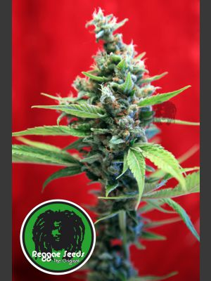 Sra. Amparo Feminised Seeds