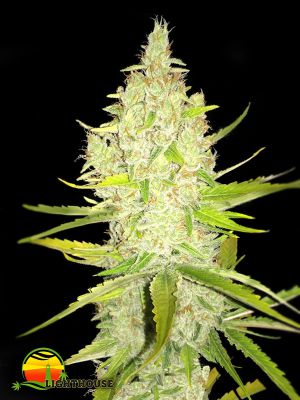 Chicle aka BubbleDawg (T.H.Seeds)