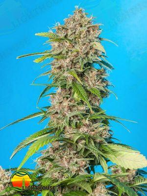 Smooth Smoke (Tropical Seeds)
