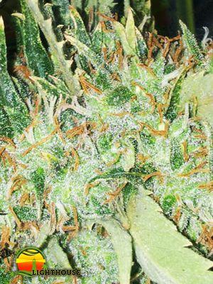 Big Bud (Vision Seeds)
