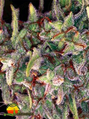 Brainkiller Haze (Vision Seeds)