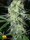 Sex Bud (Female Seeds)