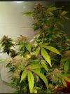 Green Bling Feminised Seeds - 6