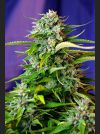 Jack 47 Auto Feminised Seeds