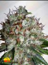 Big Bud XXL (Ministry of Cannabis)