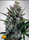 Silver Bullet Auto (Ministry of Cannabis)
