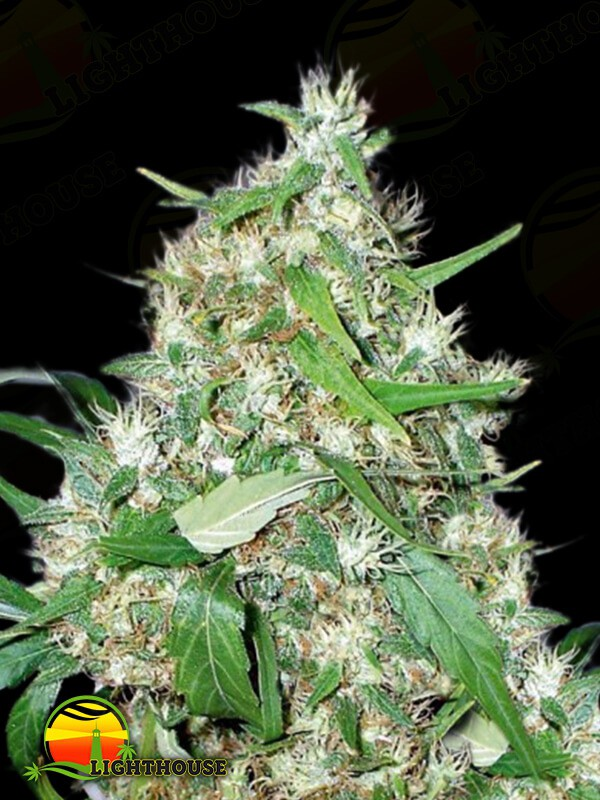 Sour White (710 Genetics)