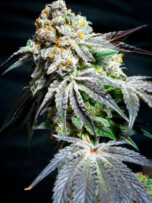 Cookie Wreck Regular Seeds