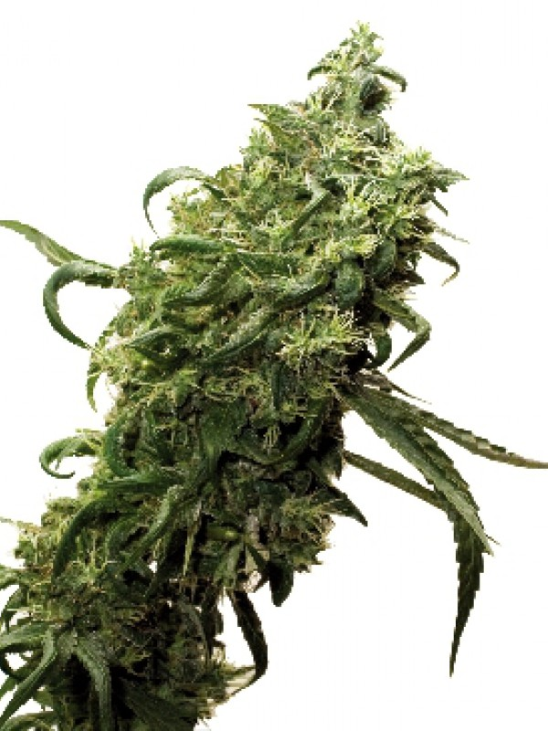 Dark Delight Feminised Seeds