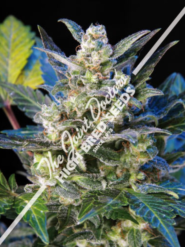 Diesel Ryder Autoflowering (The Joint Doctor)