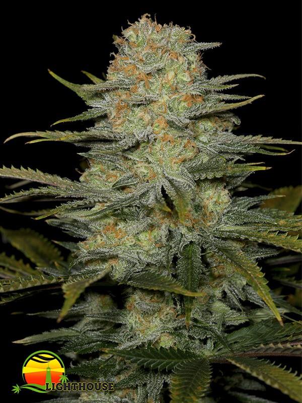 Amnesia CBD (Dinafem Seeds)
