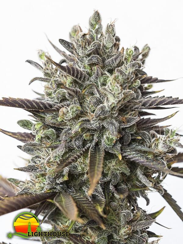 Purple Orange CBD (Dinafem Seeds)