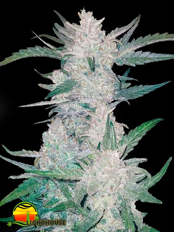 Mexican Airlines Auto (FastBuds Seeds)