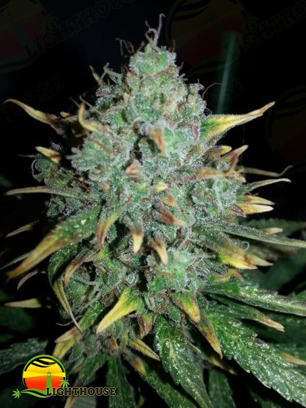 White Widow x Big Bud Auto (Female Seeds)