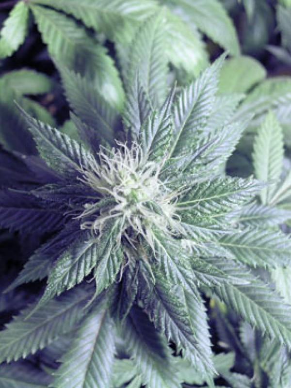 Taste Bud (Seedism)