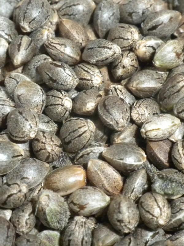 Good Ideas Regular Seeds