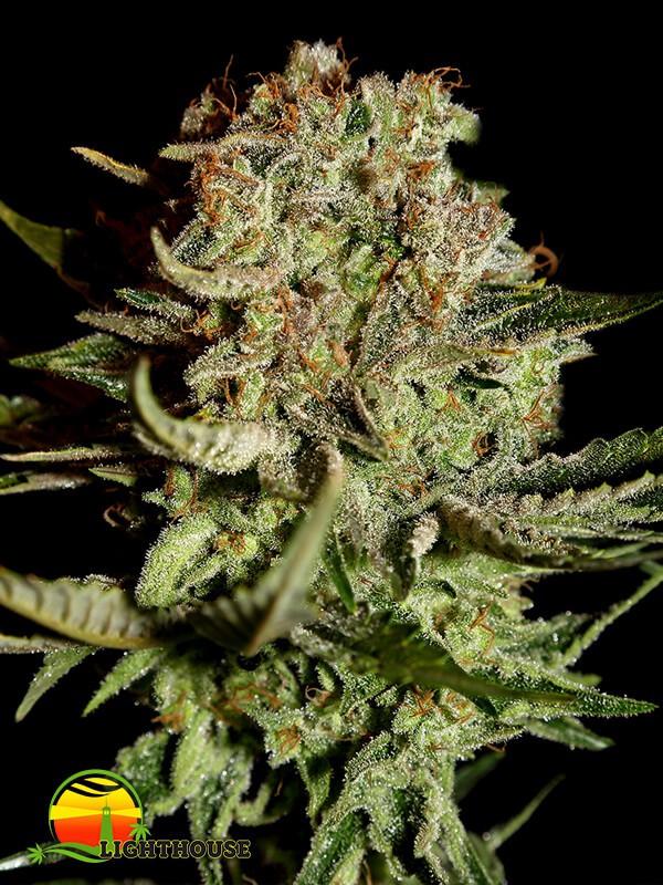 Super Bud (Greenhouse Seed Co.)