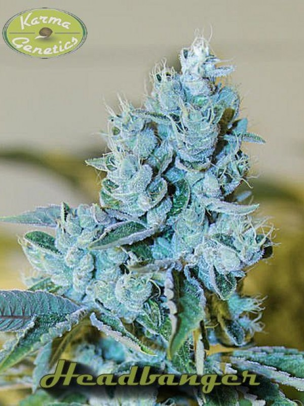 Headbanger Regular Seeds