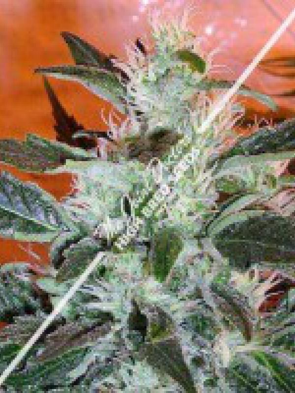 Lowryder #2 Autoflowering Regular Seeds