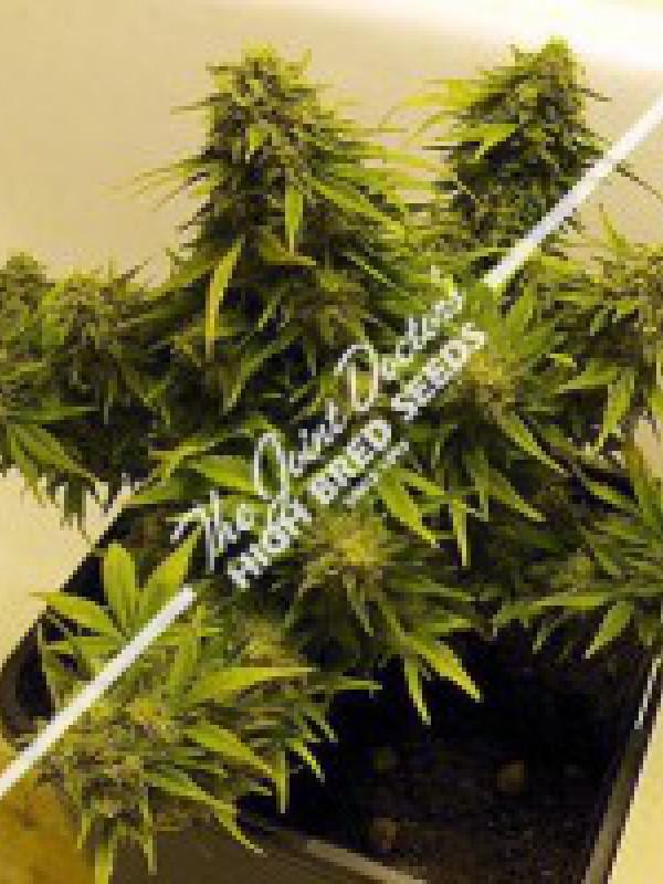 Lowryder Mix Autoflowering Regular Seeds