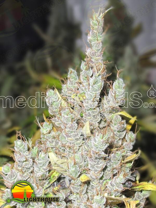 2046 (Medical Seeds)