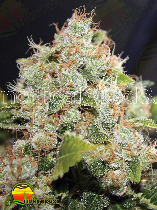 BCN Sour Diesel (Medical Seeds)