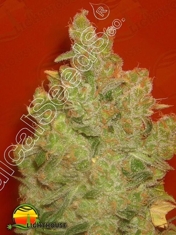 Jack La Mota (Medical Seeds)