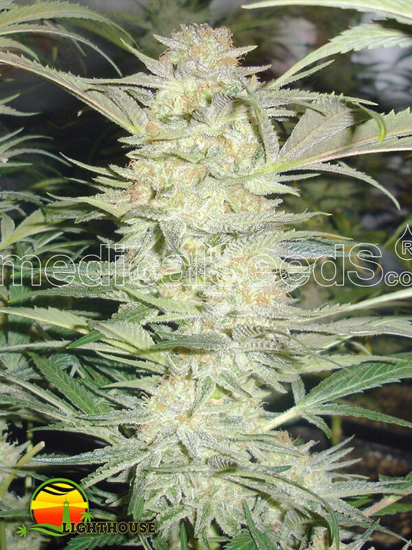 White Widow (Medical Seeds)