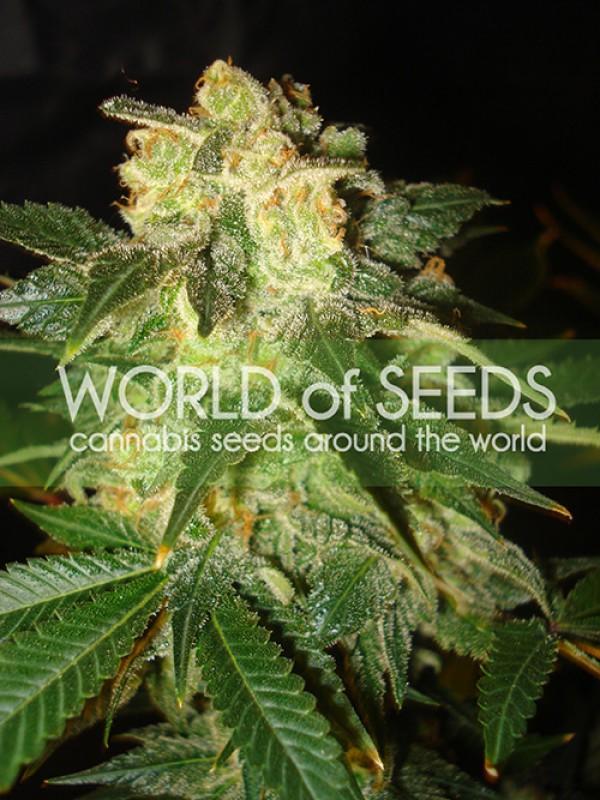 Pakistan Ryder Autoflowering Feminised Seeds