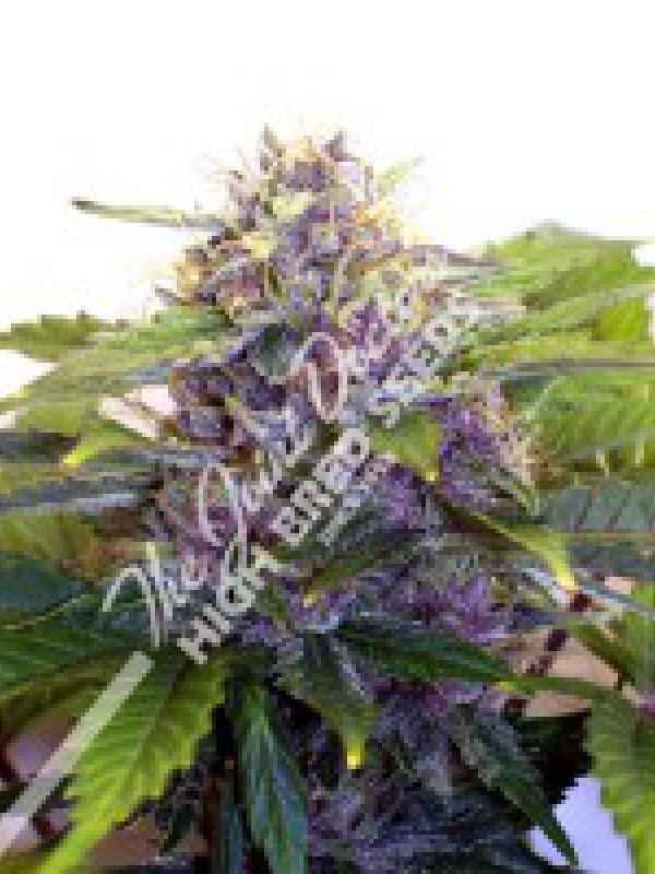 Purple Ryder Autoflowering Feminised Seeds