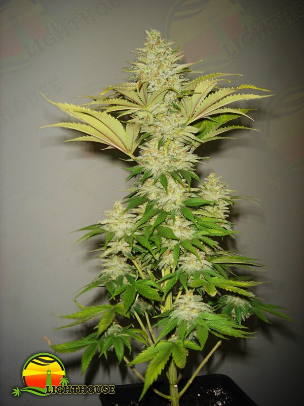 Bubblicious (Resin Seeds)