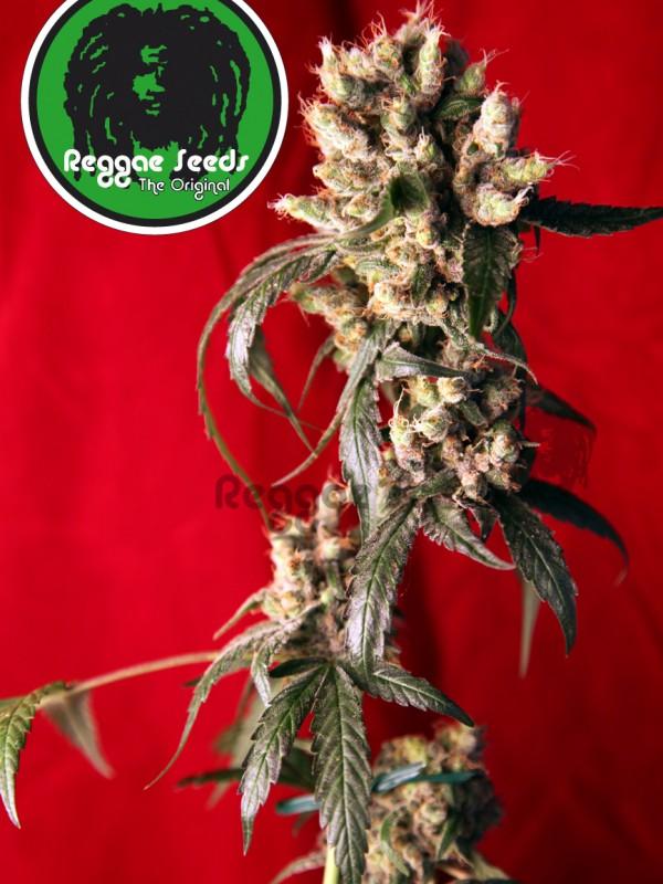 Roots Regular Seeds