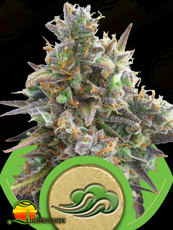 Royal Bluematic Auto (Royal Queen Seeds)