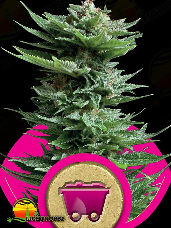 Shining Silver Haze (Royal Queen Seeds)