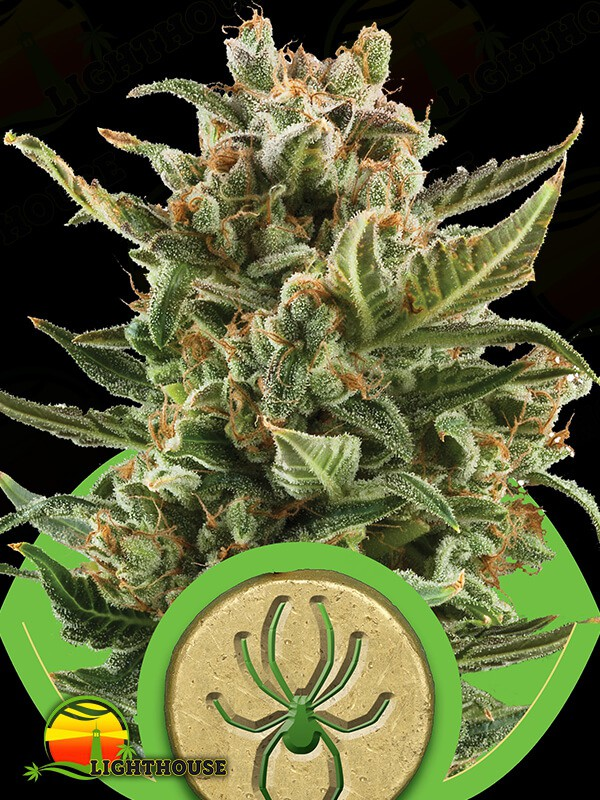White Widow Auto (Royal Queen Seeds)