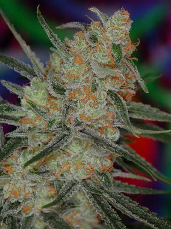Space Bomb (TGA Subcool Seeds)