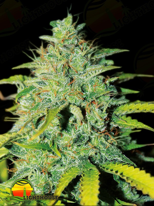 Sweet Tooth Auto (Seedsman)