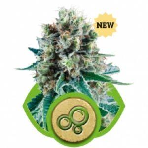 Bubble Kush AUTO Feminised Seeds