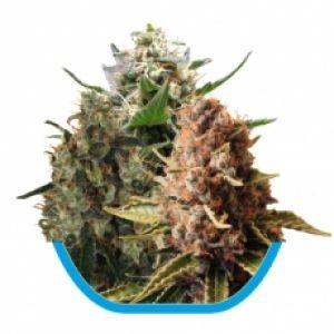 Medical Mix Feminised Seeds