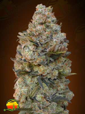 Feminised Seeds Collection #1 (00 Seeds)
