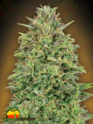 Feminised Seeds Collection #4 (00 Seeds)