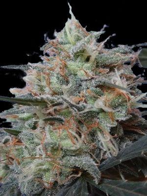 Congo x Kali China (Ace Seeds)