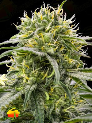 Durban-Thai x C99 (Brothers Grimm Seeds)