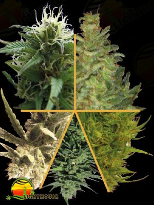 Ceres Mix Feminised (Ceres Seeds)
