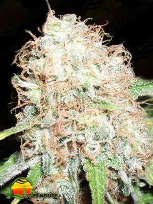 Bud Bud Bling Tingz (Dr Krippling Seeds)